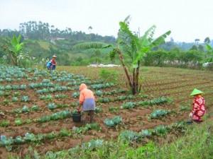 PETANI PANGALENGAN. Bertani memanfaatkan lahan milik negara (foto:hendijo)